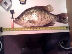 19-inch-crappie-tape-measure